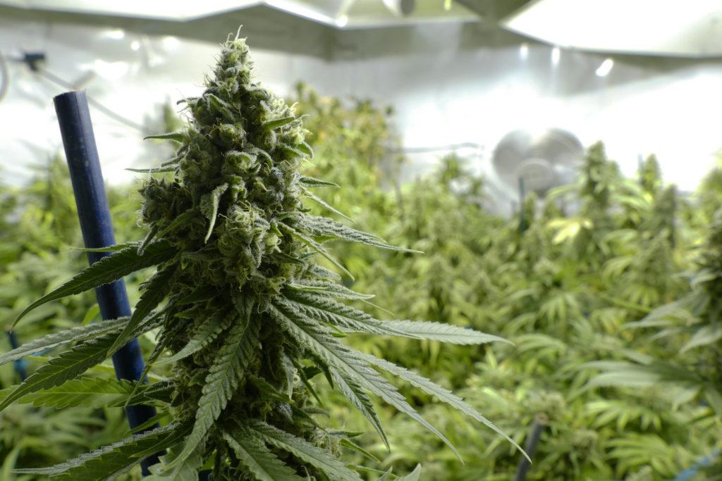 Cannabis - Die vielfach unterschätzte Droge: Wo werden Haschisch und Marihuana angebaut?